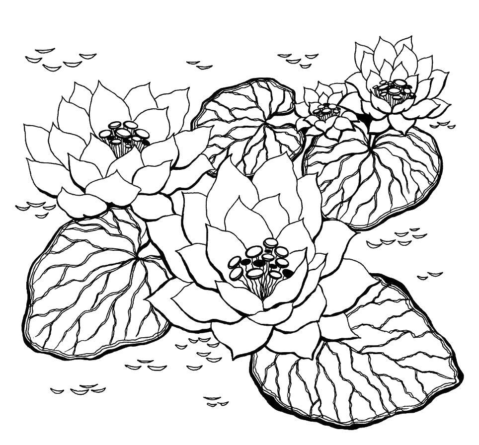 Цветы лотос Раскраски с цветами распечатать бесплатно