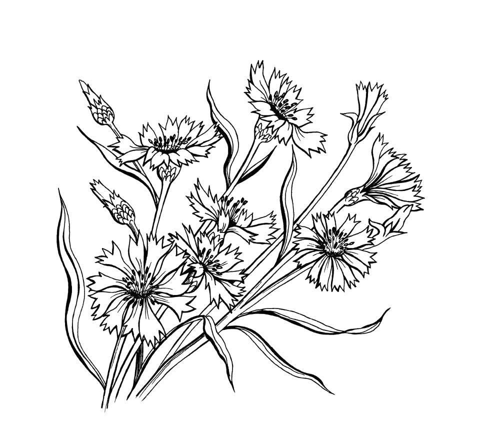 Цветы василек Раскраски с цветами распечатать бесплатно